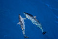 Pair of hawaiin spinner dolphins Royalty Free Stock Photo
