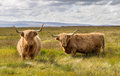 Pair of Highland Cattle Royalty Free Stock Photo