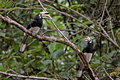 A pair of hornbill birds standing on a tree Royalty Free Stock Photography