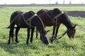 Pair of horses grazing in a work break season planting. Royalty Free Stock Photo