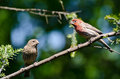 A Pair of House Finch Perched in a Tree Stock Photos