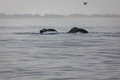Pair of humback whale tails close up side by side with both bodies submerged Stock Photos