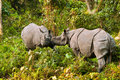 Pair indian one horned rhinoceros play fighting jaldapara wildlife sanctuary Stock Images