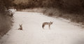 A pair of jackal waiting on a dirt road Stock Images