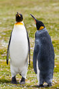 A pair of king penguins is raising his head up Royalty Free Stock Photos