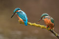 Pair of kingfisher a watch their river Stock Images