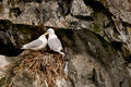 Pair of Kittiwakes Stock Photo