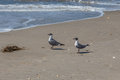 Pair of laughing gulls a male and female on a north carolina beach Royalty Free Stock Image