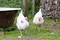 Pair of light sussex hens Royalty Free Stock Images