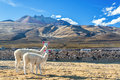 Pair of llamas two white with a dramatic volcano rising in the background in the town coqueza near uyuni bolivia Stock Image
