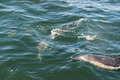 A pair of long beaked common dolphins on the coast of Gansbaai