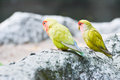 Pair of Lovebirds (Agapornis) Royalty Free Stock Photo