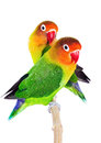 Pair of lovebirds agapornis fischeri isolated on white Royalty Free Stock Photography