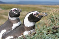 Pair of Magellan penguins sitting in their nest. Royalty Free Stock Photos