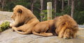 Pair of male lions panthera leo Stock Photos