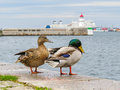 Pair of mallard ducks and old lighthouse Malmo Royalty Free Stock Photo