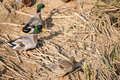 Pair of Mallard Ducks stand Royalty Free Stock Photo