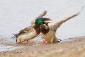A pair Mallards fighting on icy river Royalty Free Stock Photo