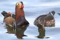 Pair of mandarin ducks during breeding season aix galericulata Stock Images