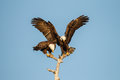 Pair of mating american bald eagles in florida Royalty Free Stock Images