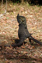 Pair of Monitor Lizards Stock Images