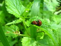 Pair of motley bugs on the leaf of nettle making love Stock Images