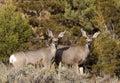Pair of Mule Deer Royalty Free Stock Photo