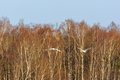 Pair of mute swans come flying over the woods Stock Photo