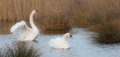 Pair of mute swans a cygnus olor on a fenland lake Stock Photo