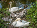 Pair of mute swans with five cygnets resting image a on a river bank great feather detail Royalty Free Stock Photography