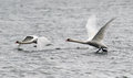 Pair of mute swans flying above river danube in zemun belgrade serbia Royalty Free Stock Photography