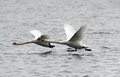 Pair of mute swans flying above river danube in zemun belgrade serbia Stock Photography