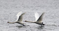 Pair of mute swans flying above river danube in zemun belgrade serbia Stock Photos
