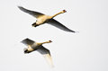 A pair of mute swans flying across a white background Stock Photos