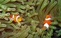 Pair Nemos Royalty Free Stock Photos