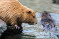 Pair of nutrias (Myocastor coypus aka beaver rats) sitting and swimming in water Royalty Free Stock Photo