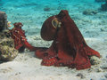 Pair of octopuses rarotonga underwater octopus sit side by side snorkling in cook islands oceania south pacific Royalty Free Stock Images