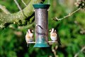 Pair ofgoldfinch on a feeder two of many goldfinch s that have started to populate garden Royalty Free Stock Photography