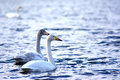 Pair ofswimming swans of swimming in flock in blue water Royalty Free Stock Photos