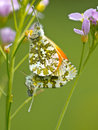 Pair of orange tip butterflies Stock Photo