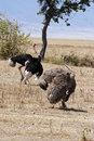 Pair of ostriches displaying mating ritual in the plains the serengeti tanzania africa Stock Image