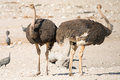 Pair of ostriches seen and pictured in several national parks in namibia africa Royalty Free Stock Photography
