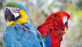Pair of parrots a couple sitting on a branch on a beautiful fall day one is a blue and gold macaw the other is a scarlet macaw Stock Image
