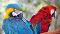 Pair of parrots a couple sitting on a branch on a beautiful fall day one is a blue and gold macaw the other is a scarlet macaw Royalty Free Stock Photos