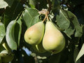 Pair of pears ripe Stock Photography