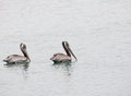 Pair of Pelicans Stock Photography