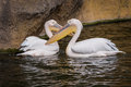 Pair of pelicans photo taken in the zoo Royalty Free Stock Photo