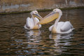 Pair of pelicans photo taken in the zoo Royalty Free Stock Photography