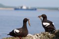 Pair of the Pigeon Guillemots with small fishes Stock Images