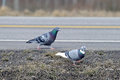 Pair of Pigeons By Road Royalty Free Stock Photo